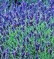 Lavendel Hidcote, Blau, 400Samen von Nuts n' Cones - Du und dein Garten