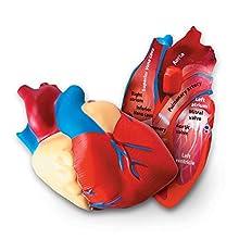 Learning Resources Soft Foam Cross-Section Human Heart Model