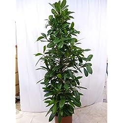 [Palmenlager] - Ficus cyathistipula 200 cm / / Zimmerpflanze ähnl. F. benjamini