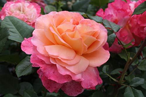 Rose Augusta Luise® (im grossen Container) - kräftige Pflanze im 6lt.-Container