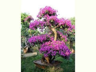 Vistaric 100% original de alta calidad 50 unids color mixta Bougainvillea spectabilis Willd Seeds bonsai planta de semillas de flores