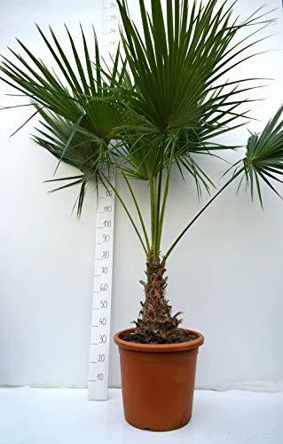 Brahea edulis - Guadalupepalme, verschiedene Größen (160-180cm - Stamm 30-40cm - Topf Ø 45cm)