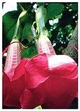 TROPICA - tromba degli angeli rosa (Brugmansia suaveolens Pink) - 12 semi