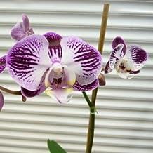 suchergebnis auf f r orchideen samen kaufen. Black Bedroom Furniture Sets. Home Design Ideas