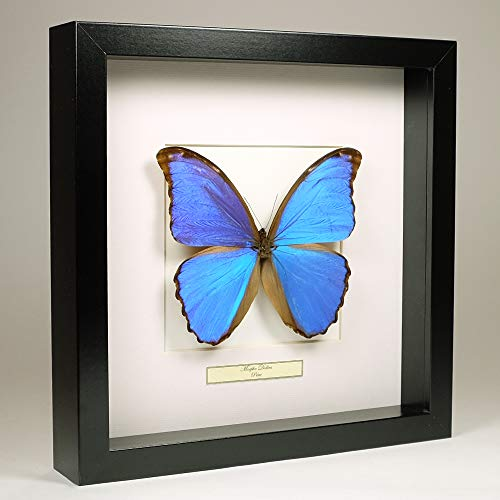De Museumwinkel.com Morpho Didius - Blaue Morphofalter - Echter präparierter Schmetterling montiert unter Glas in handgefertigten schwarzen Holzrahmen