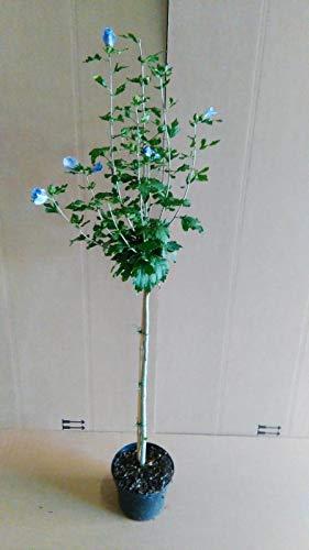 Hibiscus syriacus Blue Bird - Stamm, Garteneibisch, winterhart, Höhe: 120-130 cm + Dünger -