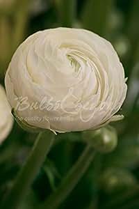 """Ranuncolo """"Bianco"""" - (150 tuberi) - Bulbi da fiore / fiori da giardino - SPEDIZIONE GRATUITA"""