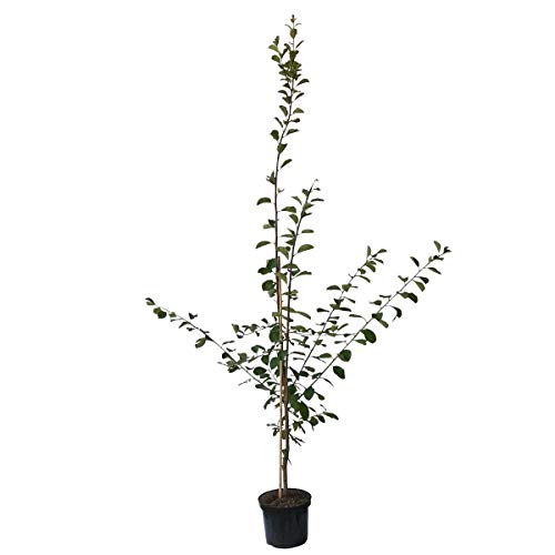 Müllers Grüner Garten Shop Pflaumenbaum Magna Glauca Pflaume süß würziger einjähriger Buschbaum 100-120 im 7,5 Liter Topf