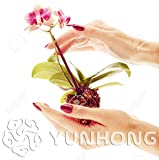 Bloom Green Co. 100PCS Mini planta de flores de orquídeas para el jardín de casa Planta de orquídeas Phalaenopsis Compra directa de China Orquidea Semente: 8