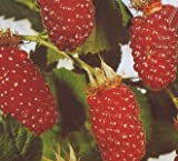 3 Stck. Rubus 'Tayberry' - (Him-Brombeere 'Tayberry')- Containerware 40-60 cm
