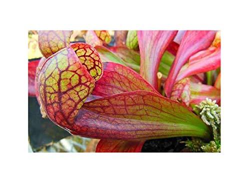 5x Sarracenia psittacina Apalachicola Samen Fleischfressende Pflanze B218