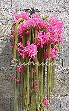 Fash lady 100 pz semi di acchiappamosche dionaea muscipula clip gigante venere acchiappamosche semi di piante semi carnivori semi di piante dionaea alberelli