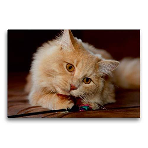 Somali-katze (Calvendo Premium Textil-Leinwand 75 cm x 50 cm quer, Sibirische Katze | Wandbild, Bild auf Keilrahmen, Fertigbild auf echter Leinwand, Leinwanddruck Tiere Tiere)