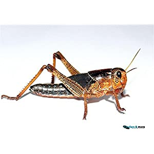 Heuschrecken groß adult 25 Stück Wanderheuschrecken Futterinsekten Reptilienfutter
