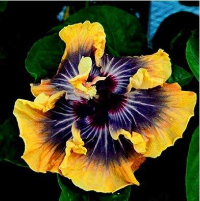 Tomasa Gartensamen- 50 Stücke Riesen-Hibiskus Blumensamen Garten Balkon Bonsai Samen Exotische Hibiscus Samen,winterhart mehrjährig Pflanzensamen