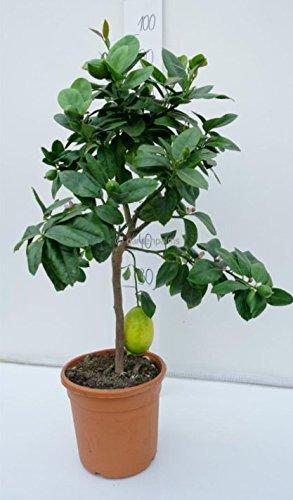 Citrus limon - echter Zitronenbaum - verschiedene Größen (70-90cm - Stamm 30cm - Topf Dia 19cm)