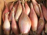 seekay Chalota Zebrune Aprox 250 semillas