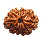 The Millennium Gallery 10 Mukhi Nepal Rudraksha 23.50 MM Natural & Pure by Lab Certified