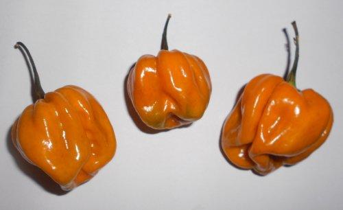 Habanero Mustard 10 Samen ***Seltene Farbvariante und Großfruchtig*** -Von Samenchilishop-