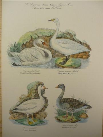 schwan-gans-altkolor-lithogr-von-n-kjaerbolling-aus-ornithologia-danica-um-1855-30-x-20-cm