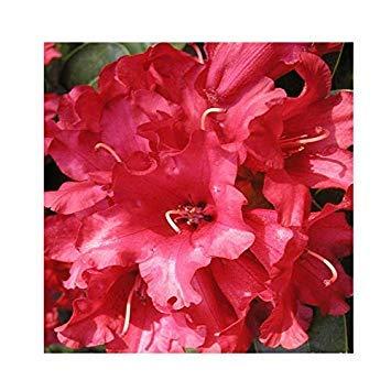 Shop Meeko Rhododendron 'Bengalen' 15cm Topf Größe