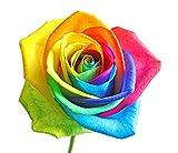 Regenbogen Rose/Bunte Rose/ca. 50 Samen/Rosensamen / Geschenk für Verliebte/Geburtstagsgeschenk