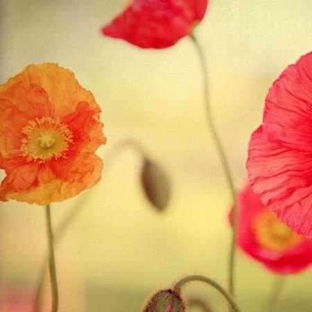 impresion-de-arte-fino-en-lienzo-la-vie-en-rose-by-bock-alicia-pequena-51-x-51-cms
