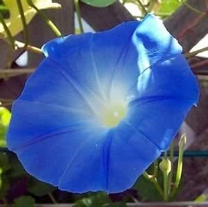 Heavenly Blue Morning Glory Imopea Flower Seeds 15 Seeds