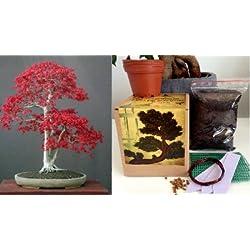 Bonsai Anzuchtset - Saatausstattung zum pflanzen eines Fächer-Ahorn, japanische Ahorne Bonsais -Samen / Pflanzentöpfe / Erde / Draht / Anleitung/Planzenetopfnetz/Etiketten