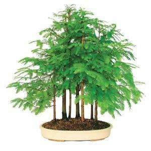 Yukio Samenhaus - 10pcs Rarität Outdoor-Bonsai - Urweltmammutbaum Ziergehölz, pflegeleicht Baumsamen Blumensamen winterhart mehrjährig für Garten