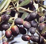 Vivai Gardenhome - Olivo Leccino