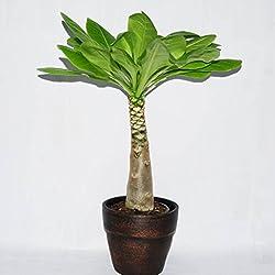 FloraStore - Brighamia Insignis (Hawaiian Palm) in Keramik (1x), Höhe 35 CM, Topf 14 CM, Zimmerpflanze