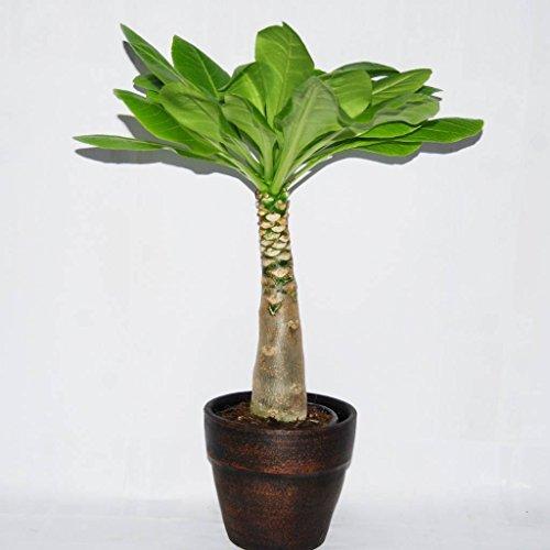 1 x Brighamia Insignis (Hawaii-Palme) in der Keramik