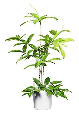 EVRGREEN Drachenbaum     Zimmerpflanze in Hydrokultur   im Set inkl. Keramiktopf (weiß)   Dracaena surculosa