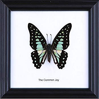 The Common Jay Butterfly (Graphium doson) | Schmetterlinge Entomologie Taxidermie Innendekoration | 12 x 12 cm