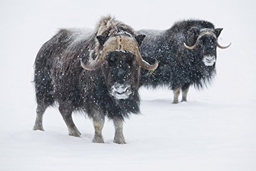 doug-lindstrand-design-pics-view-of-a-pair-of-muskoxen-bulls-at-the-alaska-wildlife-conservation-cen