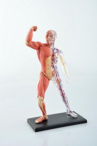 dentallabore 4D 20,3cm 46Teile Muskel- und Skelett Anatomie Modell Modell Medical Simulation menschlichen Anatomie Medical Körper Schule
