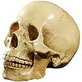 Generic Imported 1:1 Human Skull Resin Model Anatomical Medical Teaching Skeleton Yellow