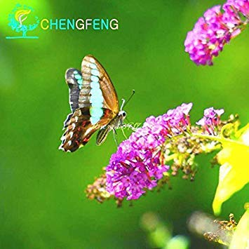 20 couleurs mélangées Graines Papillon Bush Buddleia Davidii Fleur Belle pot Bonsai Plante Diy jardin
