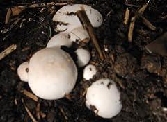 Idea Regalo - Mushroombox (Tm), kit per coltivare funghi champignon