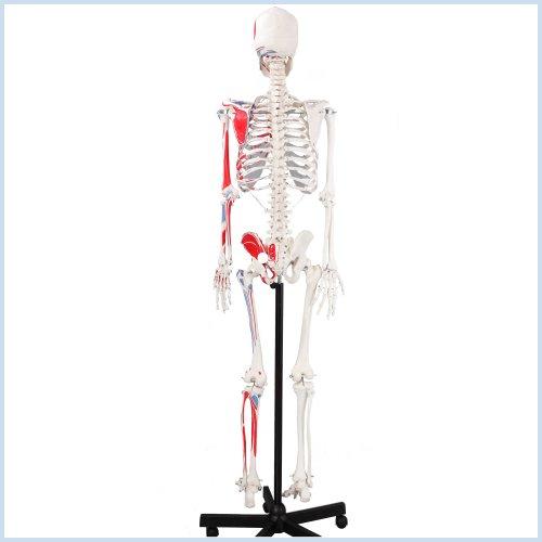 Zoom IMG-3 s24 1120 scheletro con illustrazione