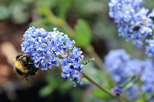 Säckelblume, Kalifornischer Flieder 'Victoria' - starke Pflanze im grossen 5L Topf