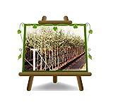 Olivi Leccino - Pianta da frutto -...