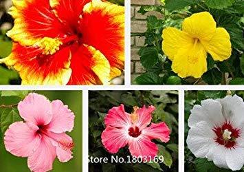 2016 Graines 100 Hibiscus Fleur Hardy, Mix couleur, bricolage jardin en pot ou Couleurs graines jardin de fleurs Livraison gratuite Mix