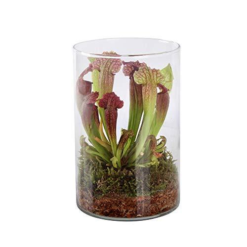 Swampworld Deko-Glas - Fleischfressende Pflanze - Trompetenpflanze