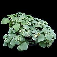 High Quality 10PCS Crassula Nemorosa Seed Anti-radiation Succulent Plant