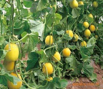 semi superiore di modo reale all'aperto very easy mini giardino estivo esclusi sementes jingyu melone semi di ortaggi 100 pcs organic