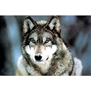 Poster in Grey Wolf Montana Design with Accessory Item ohne Rahmen