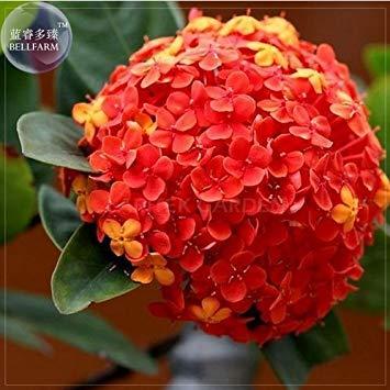 Visa Store Neue seltene rote Hortensie Mutter Samen, Professional Pack, 15 + Samen