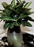 Adenium arabicum Black Knight - Wüstenrose Black Knight - 3 Samen